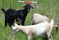 Picture of goat with pipe attached to horns to keep him from putting head through fence